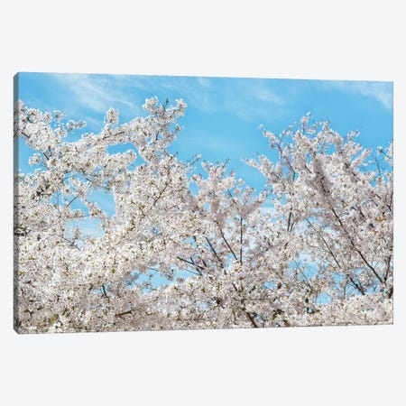 Famous Cherry Blossom Trees II Canvas Print #PHD866} by Philippe Hugonnard Canvas Art Print