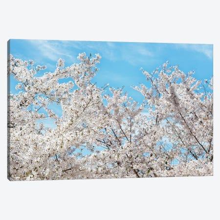 Famous Cherry Blossom Trees II Canvas Print #PHD866} by Philippe Hugonnard Canvas Art Print