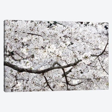 Sakura Cherry Blossom Canvas Print #PHD871} by Philippe Hugonnard Art Print