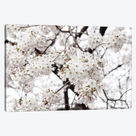 White Sakura Cherry Blossom Canvas Print #PHD908} by Philippe Hugonnard Canvas Print