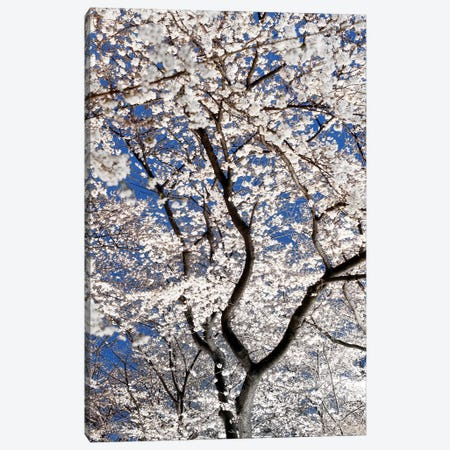 Cherry Blossoms At Night Canvas Print #PHD913} by Philippe Hugonnard Canvas Wall Art