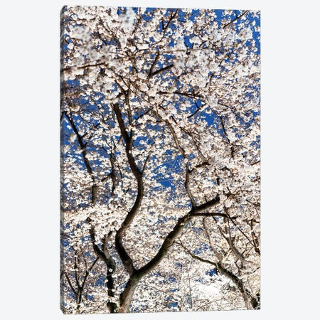 Cherry Blossoms At Night II Canvas Print #PHD914} by Philippe Hugonnard Canvas Art Print