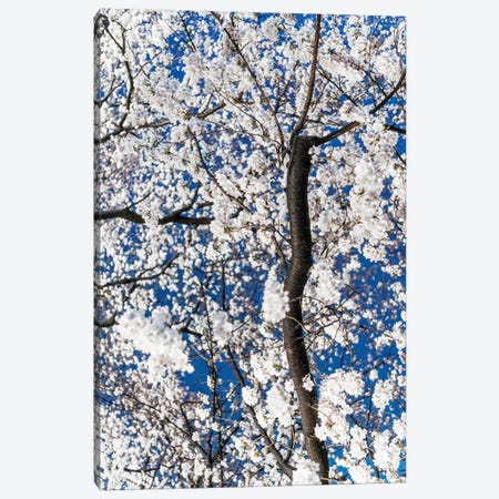 Cherry Blossoms At Night III Canvas Print #PHD915} by Philippe Hugonnard Canvas Print