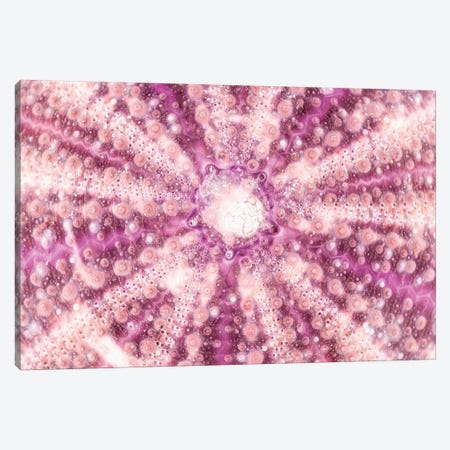 Pink Sea Urchin Shell Close-Up Canvas Print #PHD948} by Philippe Hugonnard Art Print
