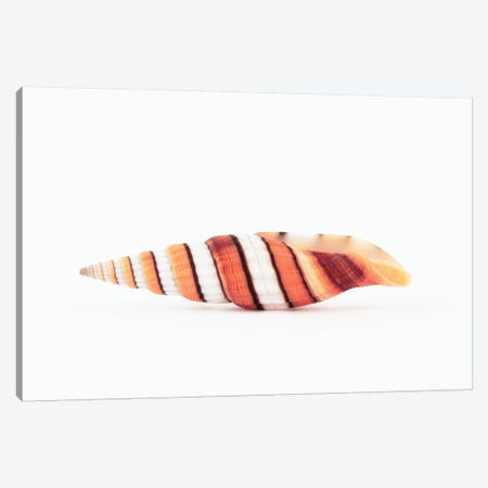 Queen Miter Seashell Canvas Print #PHD959} by Philippe Hugonnard Canvas Art