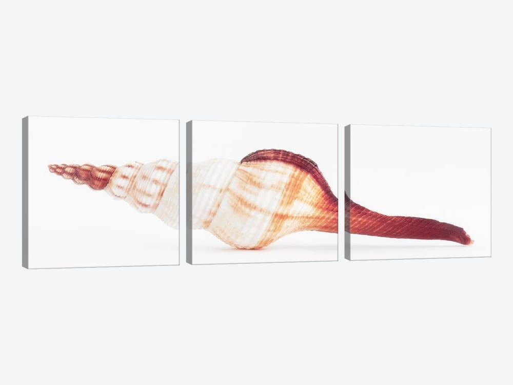Fusinus Colus Seashell II by Philippe Hugonnard 3-piece Canvas Art