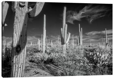 USA, Arizona, Tucson, Saguaro National Park II Canvas Art Print