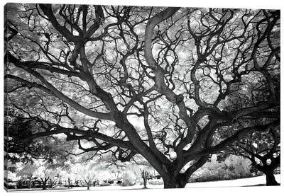 USA, Hawaii, Oahu, Honolulu, Twisted tree limbs. Canvas Art Print