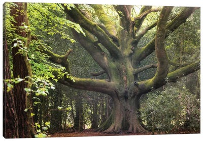 Big Beech Tree In Broceliande Canvas Art Print