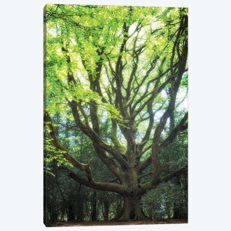 Big Old Broceliande Beech Tree II Canvas Print #PHM17} by Philippe Manguin Canvas Art Print