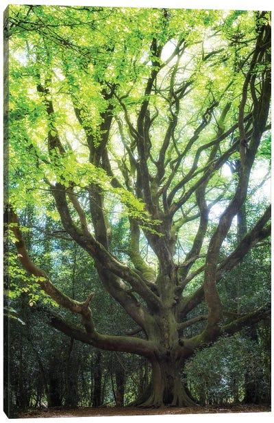 Big Old Broceliande Beech Tree II Canvas Art Print