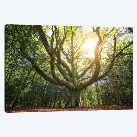 Big Old Broceliande Beech Tree III Canvas Print #PHM18} by Philippe Manguin Canvas Art