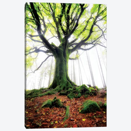 The Old Ponthus Beech Canvas Print #PHM210} by Philippe Manguin Canvas Print