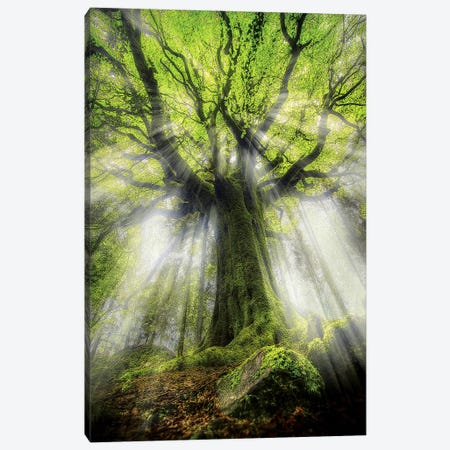 The Old Ponthus Beech Tree Canvas Print #PHM211} by Philippe Manguin Art Print