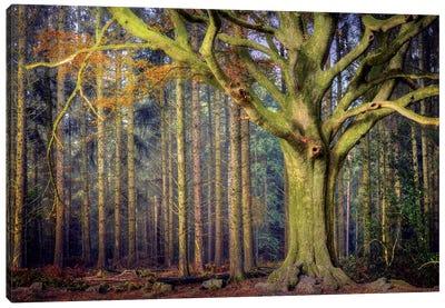 The Ponthus Beech Canvas Art Print