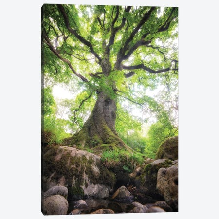 Big Oak Tree In Scotland Nature Canvas Print #PHM239} by Philippe Manguin Canvas Print