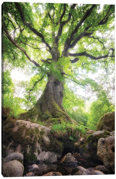 Big Oak Tree In Scotland Nature Canvas Art Print