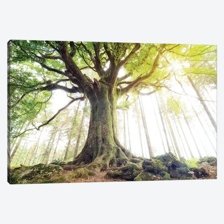 Lighting Beech Tree Canvas Print #PHM387} by Philippe Manguin Canvas Artwork