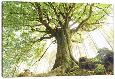 Huge Ponthus Beech In Broceliande Forest Canvas Art Print