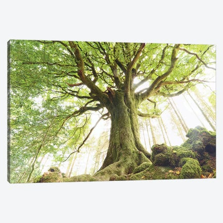 Huge Ponthus Beech In Broceliande Forest Canvas Print #PHM388} by Philippe Manguin Canvas Print