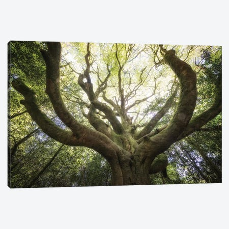 The Octopuss Beech Tree Canvas Print #PHM408} by Philippe Manguin Canvas Art