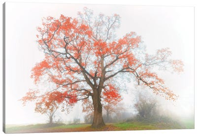 The Red Oak In The Myst Canvas Art Print