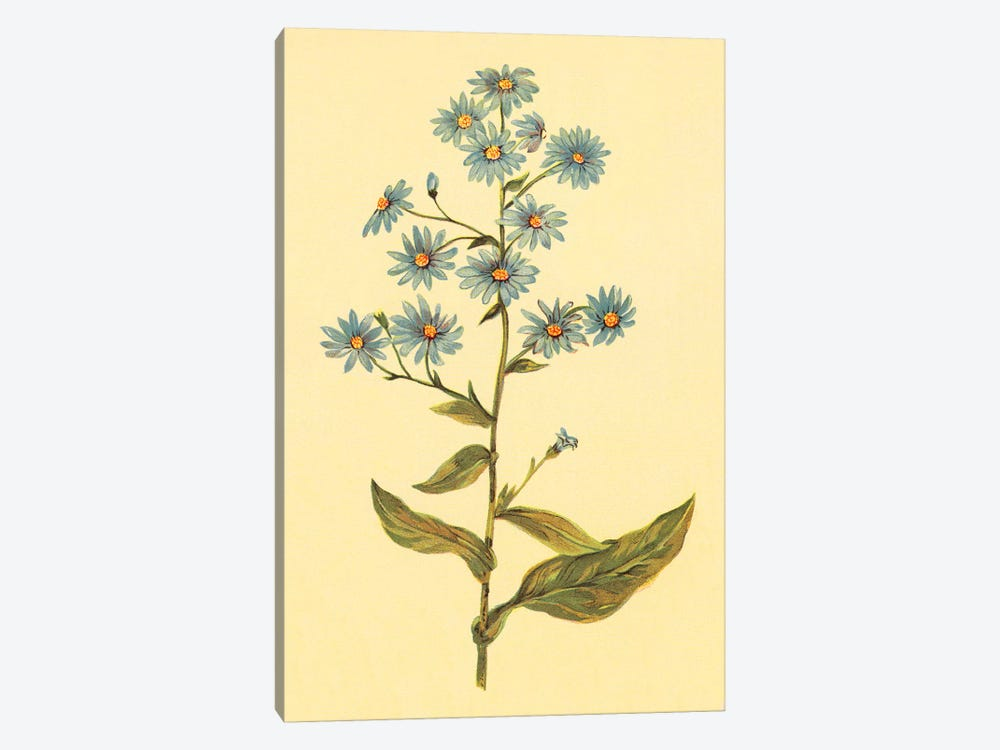 Wavy-Leafed Aster by PI Collection 1-piece Canvas Print