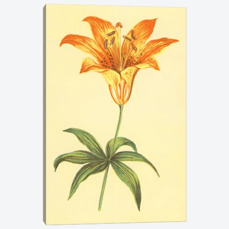 Wild Orange Lily Canvas Print #PIC105} by PI Collection Canvas Art Print