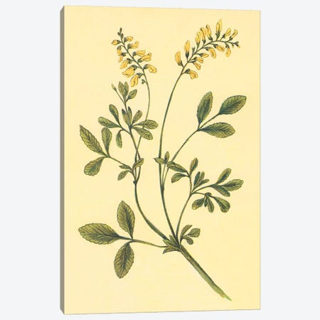 Yellow Melilot And Sweet Clover Canvas Print #PIC107} by PI Collection Art Print