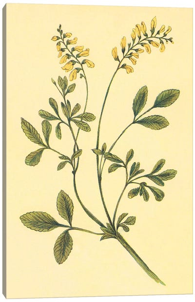Yellow Melilot And Sweet Clover Canvas Art Print