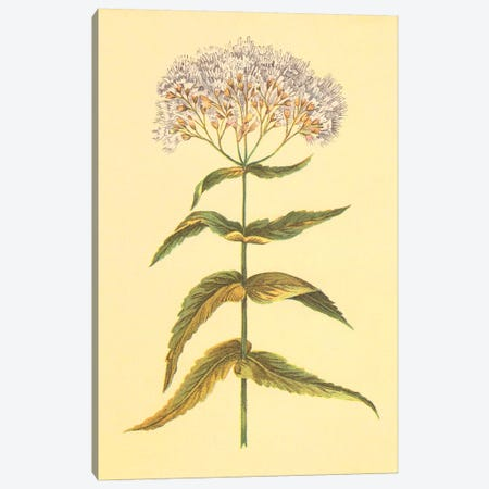 Boneset And Ague Weed Canvas Print #PIC10} by PI Collection Canvas Print