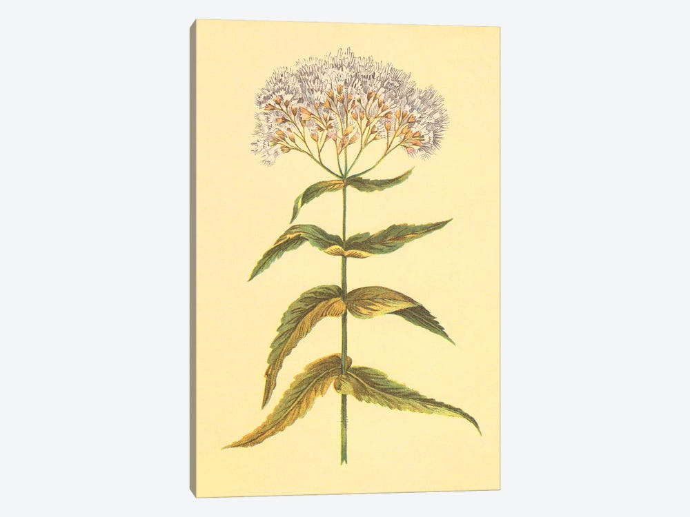 Boneset And Ague Weed by PI Collection 1-piece Canvas Art
