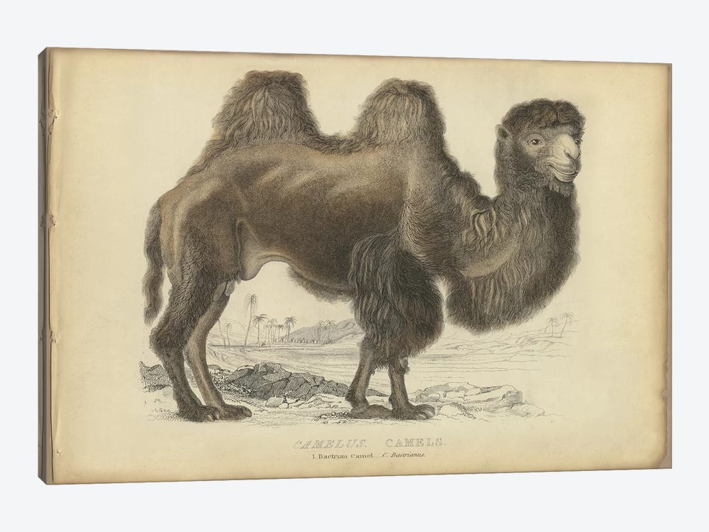 Camel Bactrian by PI Collection 1-piece Canvas Artwork