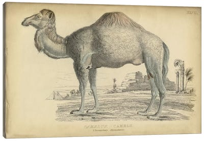 Camel Dromedary Canvas Art Print
