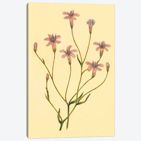 Chaetadelpha, Wheeler's Skeletonweed Canvas Print #PIC18} by PI Collection Canvas Print