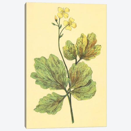 Chelidonium Majus Canvas Print #PIC21} by PI Collection Canvas Art