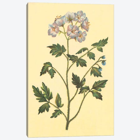 Cut Leaved Phacelia Canvas Print #PIC27} by PI Collection Canvas Art Print