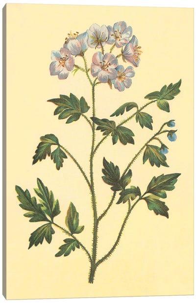 Cut Leaved Phacelia Canvas Art Print