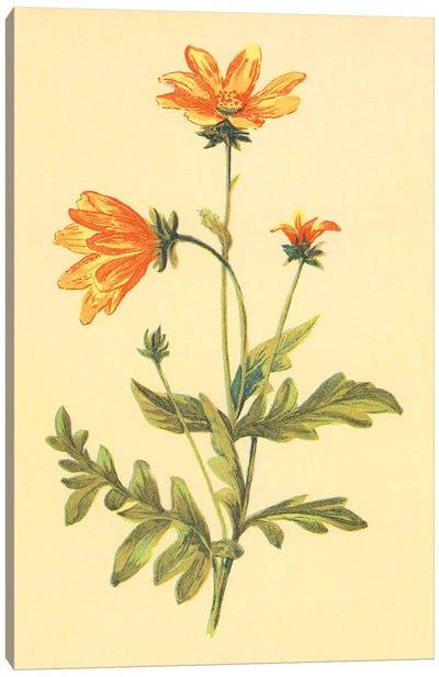 Engelmannia Canvas Art Print