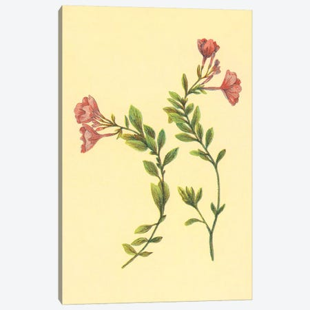 Epilobium Rigidum Canvas Print #PIC34} by PI Collection Canvas Art