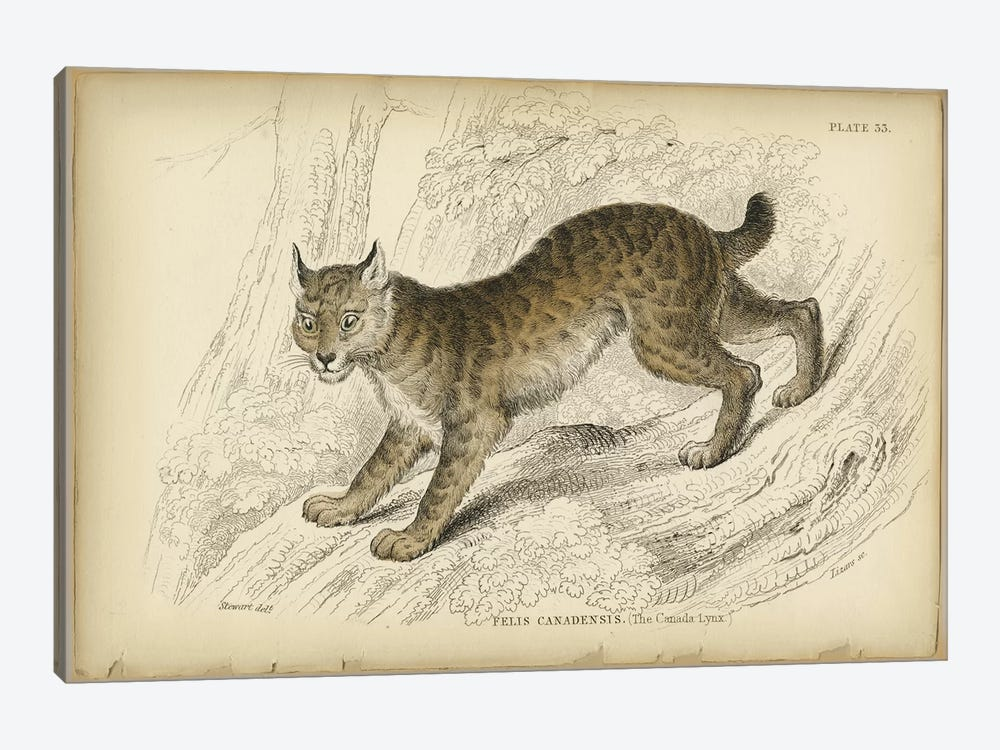 Felis Canadensis Lynx by PI Collection 1-piece Canvas Wall Art