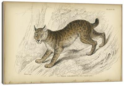Felis Canadensis Lynx Canvas Art Print