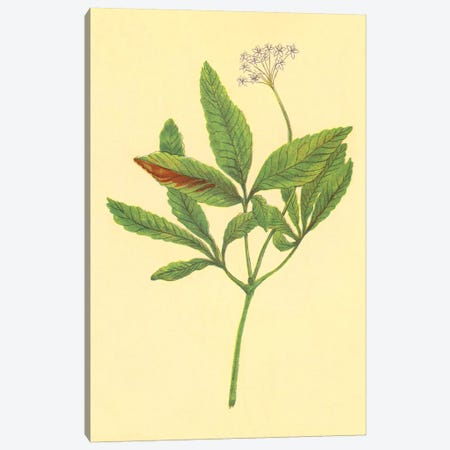 Five Leaved Ginseng Canvas Print #PIC38} by PI Collection Art Print