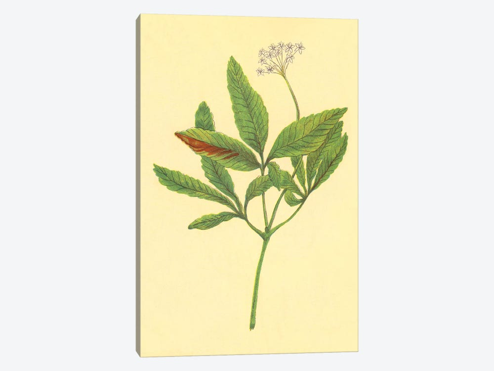 Five Leaved Ginseng by PI Collection 1-piece Canvas Art