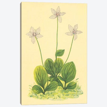 Grass Of Parnassus Canvas Print #PIC43} by PI Collection Canvas Wall Art