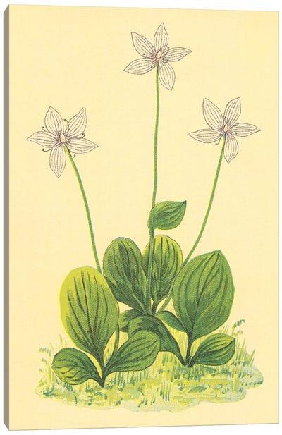 Grass Of Parnassus Canvas Art Print