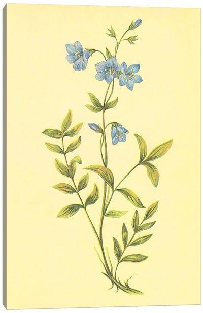 Greek Valerian Canvas Art Print