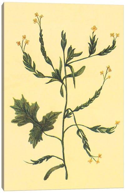 Hedge Mustard Canvas Art Print