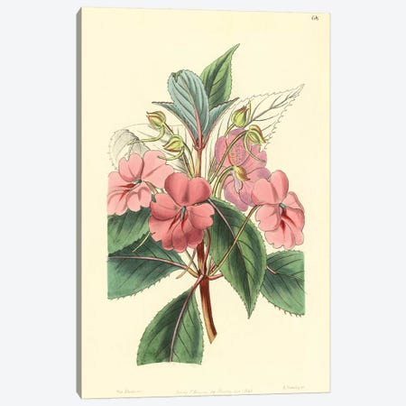 Impatiens Platypetala Canvas Print #PIC48} by PI Collection Canvas Art
