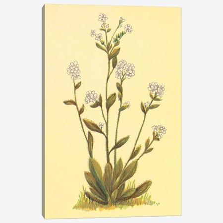 Kings Eritrichium Canvas Print #PIC53} by PI Collection Canvas Print